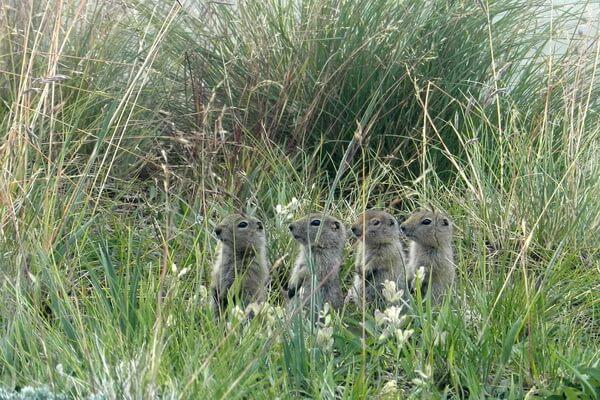 Животные Камчатки с фото и описанием - Евражка или суслик берингийский
