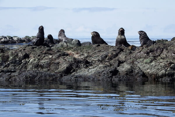 Животные Камчатки с фото и описанием - Северные морские котики