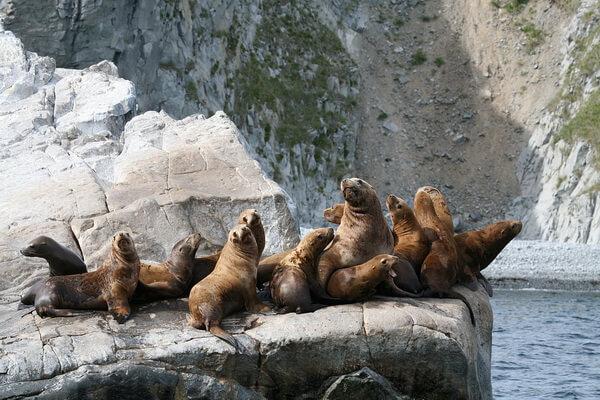 Животные Камчатки с фото и описанием - Сивучи