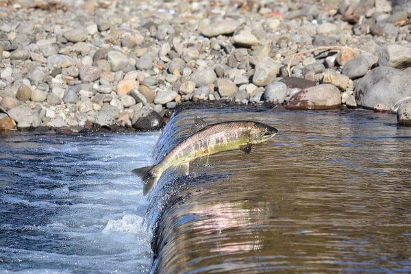 Животные Камчатки с фото и описанием - Камчатский лосось