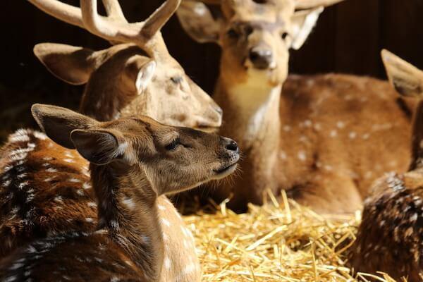 Животные Куршской косы с фото и описанием - Пятнистый олень