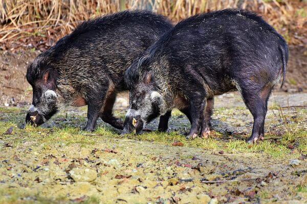 Животные Куршской косы с фото и описанием - Кабан