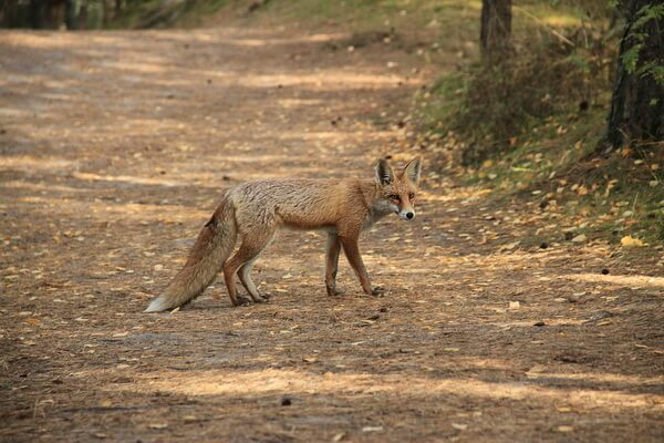 Животные Куршской косы с фото и описанием - Рыжая лисица