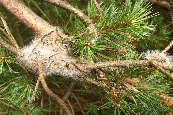 Животные Куршской косы с фото и описанием - Сосновый походный шелкопряд