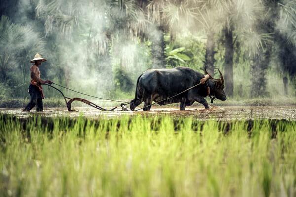 Фауна Лаоса - животные с фото и описанием - Азиатский или водяной буйвол