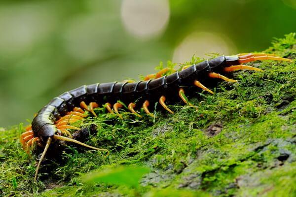 Фауна Лаоса - животные с фото и описанием - Гигантская сколопендра