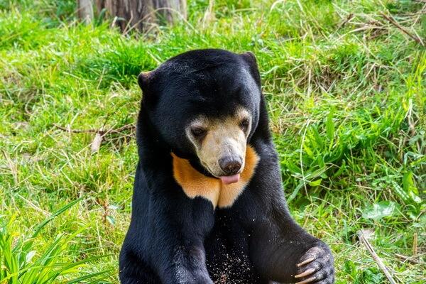 Фауна Лаоса - животные с фото и описанием - Малайский медведь (бируанг)