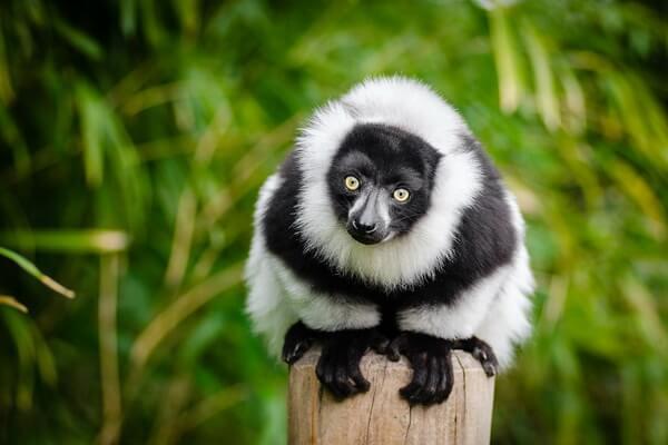 Животный мир Мадагаскара - Лемуры