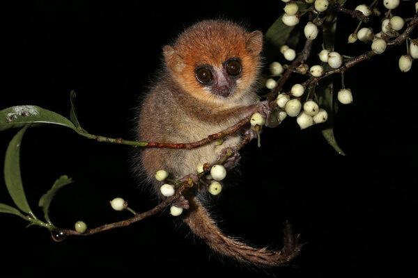 Животные Мадагаскара - Карликовый мышиный лемур