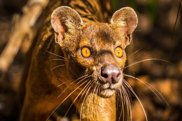Животный мир Мадагаскара - Фосса