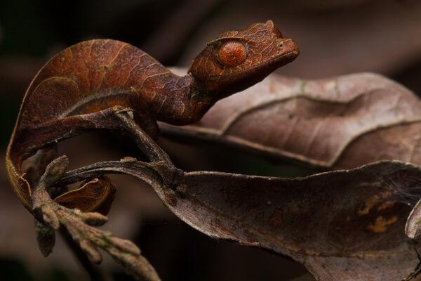 Фауна Мадагаскара - Фантастический (сатанинский) листохвостый геккон