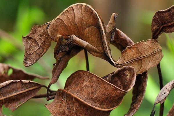 Животный мир Мадагаскара - Фантастический (сатанинский) листохвостый геккон