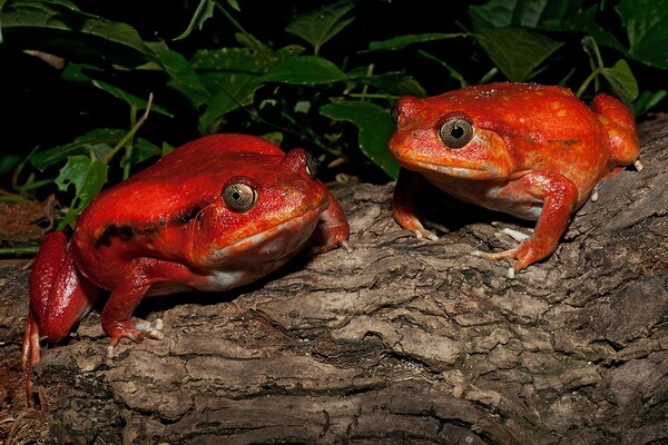 Эндемики Мадагаскара - Лягушка-помидор или красный узкорот