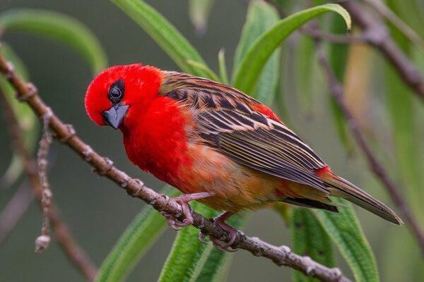 Красный фуди или мадагаскарский фоди – птица-эндемик Мадагаскара