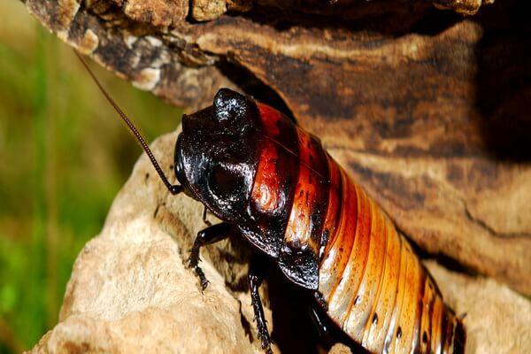 Эндемики Мадагаскара - Мадагаскарский шипящий таракан