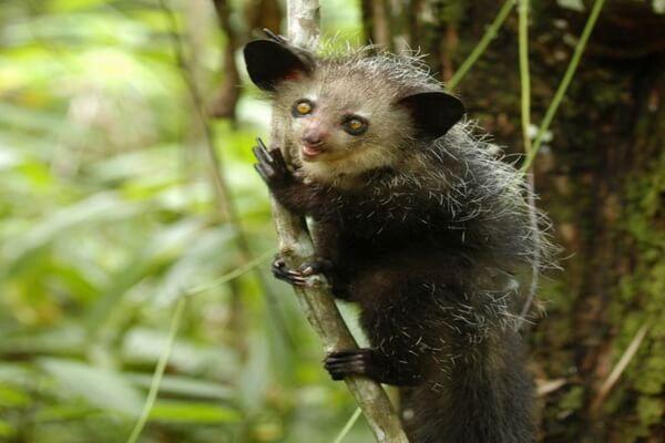 Животные Мадагаскара - Мадагаскарская руконожка или ай-ай