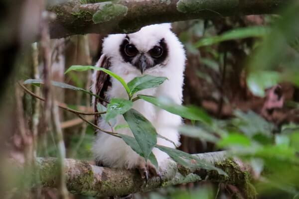 Эндемики Мадагаскара - Мадагаскарская ушастая сова