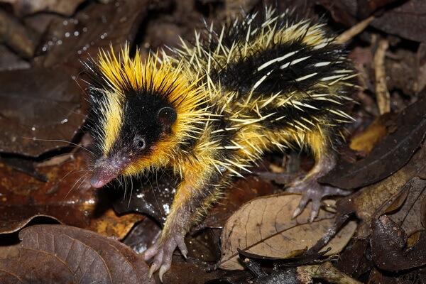 Животные - эндемики Мадагаскара - Полосатый тенрек