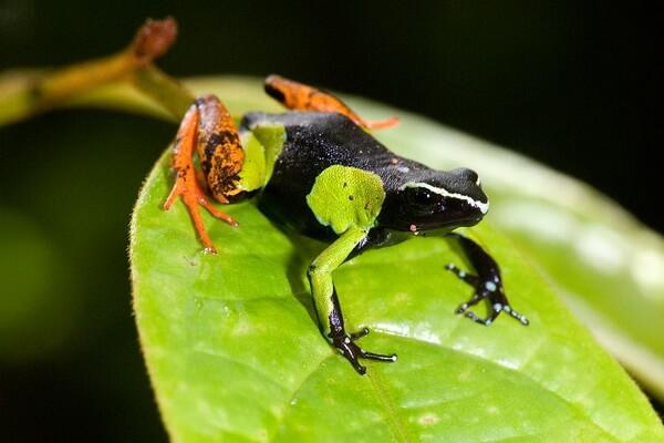 Животный мир Мадагаскара - Мадагаскарская мантелла
