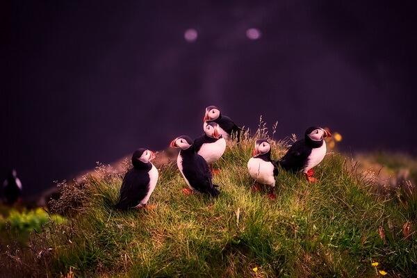 Птицы Норвегии с фото и описанием - Тупики