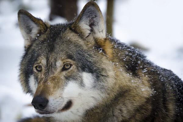 Животные Норвегии с фото и описанием - Волк