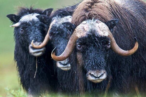 Животные Норвегии с фото и описанием - Овцебык