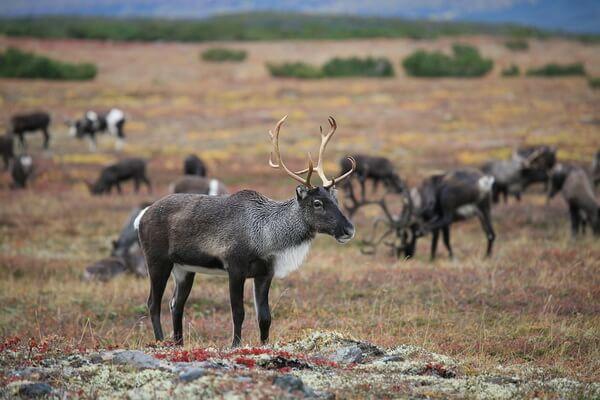 Животные Норвегии с фото и описанием - Северный олень