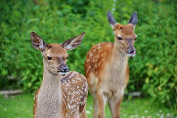 Животные Норвегии с фото и описанием - Косули