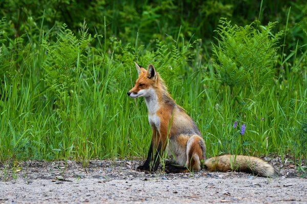 Животные Норвегии с фото и описанием - Обыкновенная лисица