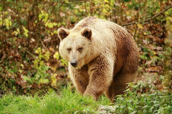 Животные Норвегии с фото и описанием - Бурый медведь