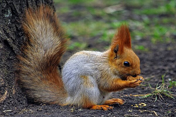 Животные Норвегии с фото и описанием - Обыкновенная белка