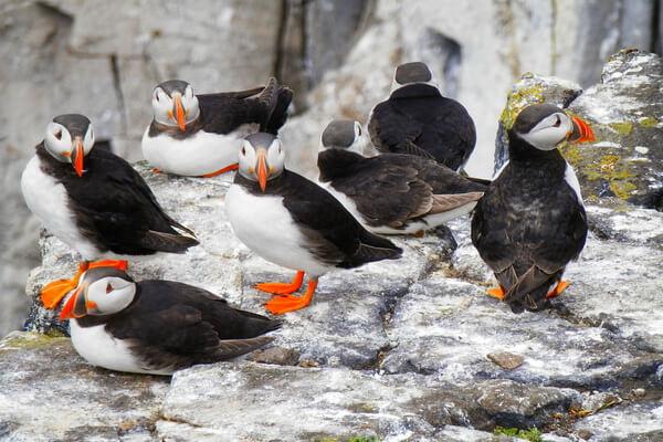 Птицы Норвегии с фото - Атлантические тупики