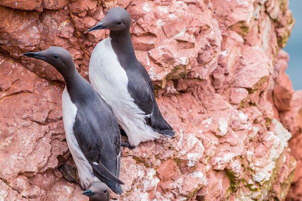 Птицы Норвегии с фото - Кайры