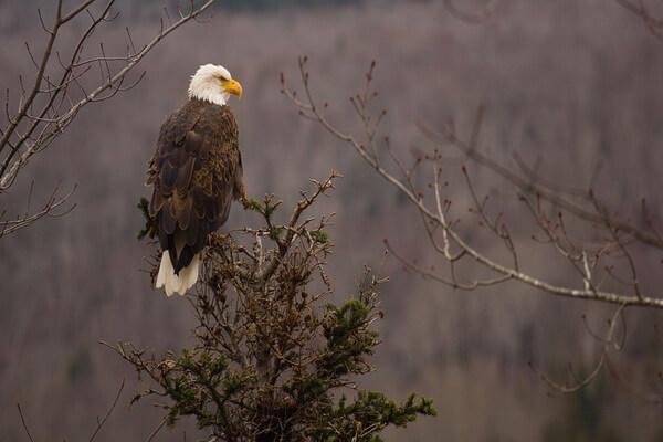 Птицы Норвегии с фото - Белоголовый орлан