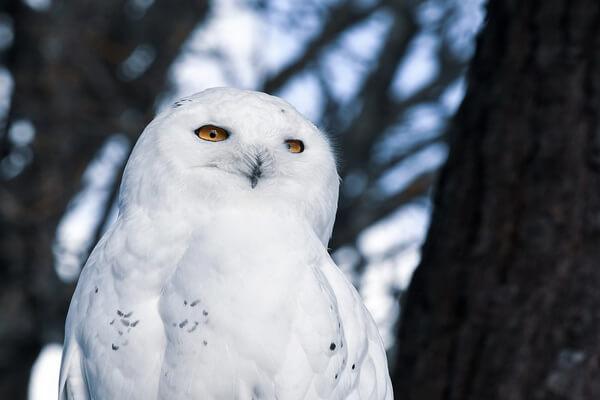 Птицы Норвегии с фото - Белая или полярная сова