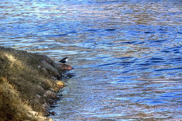 Птица оляпка - национальный символ Норвегии