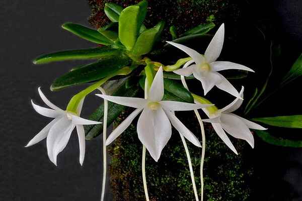 Растения Мадагаскара - Орхидея Звезда Дарвина