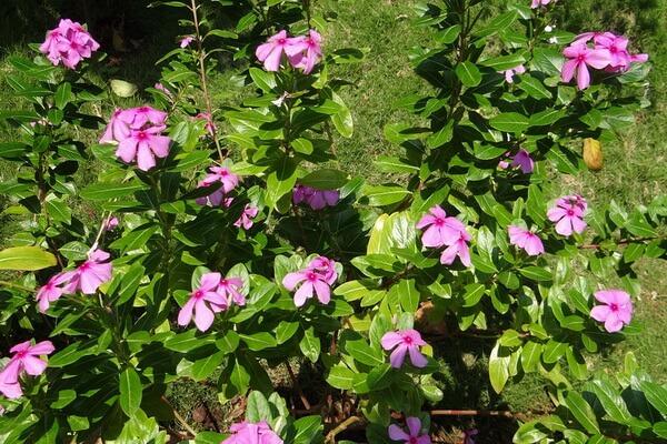 Катарантус (барвинок) розовый - коренное растение Мадагаскара