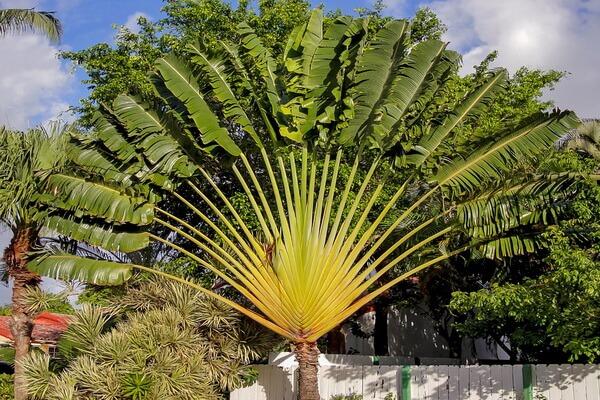 Растения Мадагаскара - Равенала (дерево путешественников)