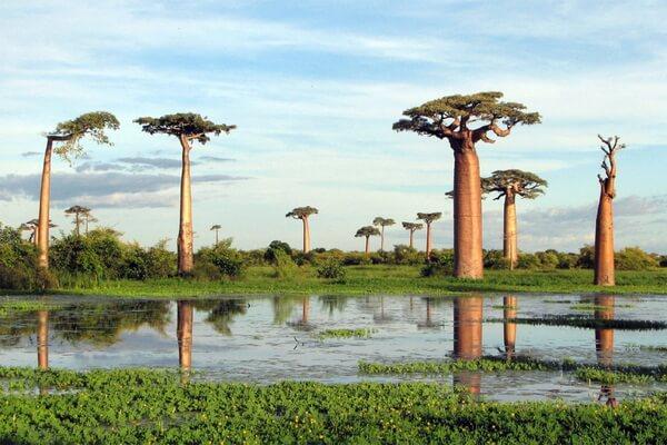 Растения Мадагаскара - Баобаб За