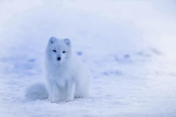 Животные Северного полюса с фото и описанием - Песец