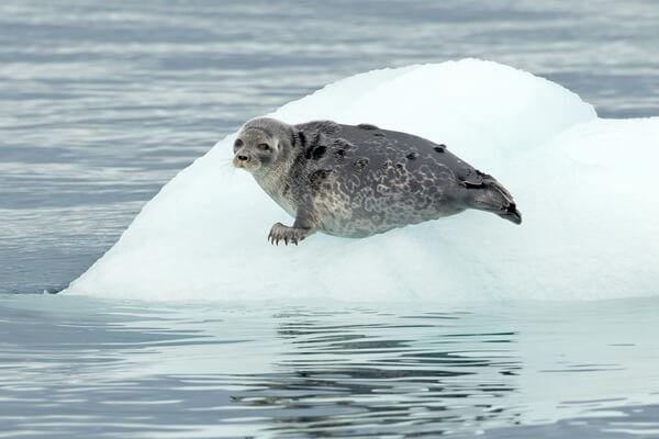Животные Северного полюса с фото и описанием - Кольчатая нерпа