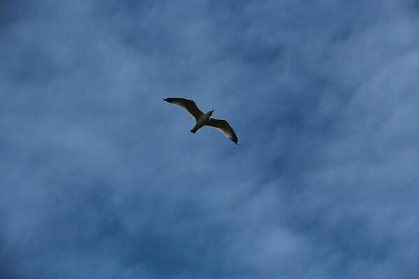 Птицы Северного полюса с фото и описанием - Обыкновенная или черноногая моевка