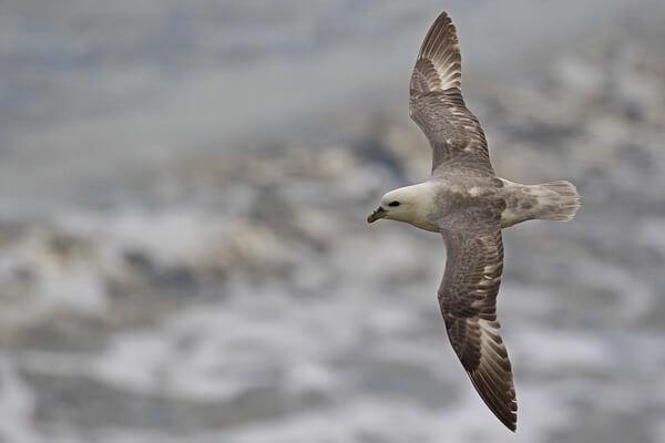 Птицы Северного полюса с фото и описанием - Глупыш