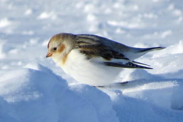 Птицы Северного полюса с фото и описанием - Снежный подорожник или пуночка