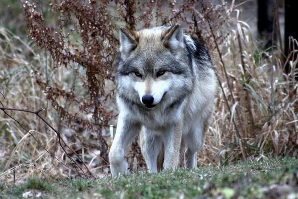 Животные штата Юта с фото и описанием - Серый волк