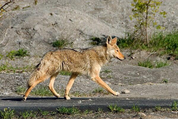 Животные штата Юта с фото и описанием - Койот