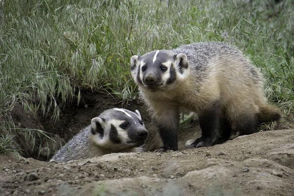 Животные штата Юта с фото и описанием - Американский барсук