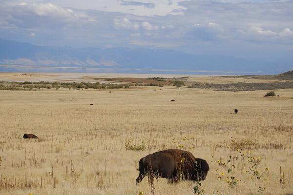 Животные штата Юта с фото и описанием - Лесной бизон