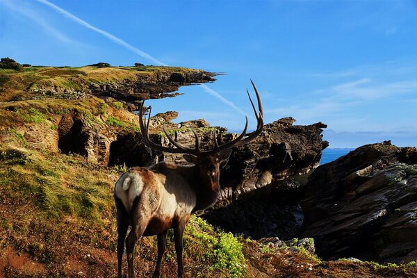 Животные штата Юта с фото и описанием - Вапити